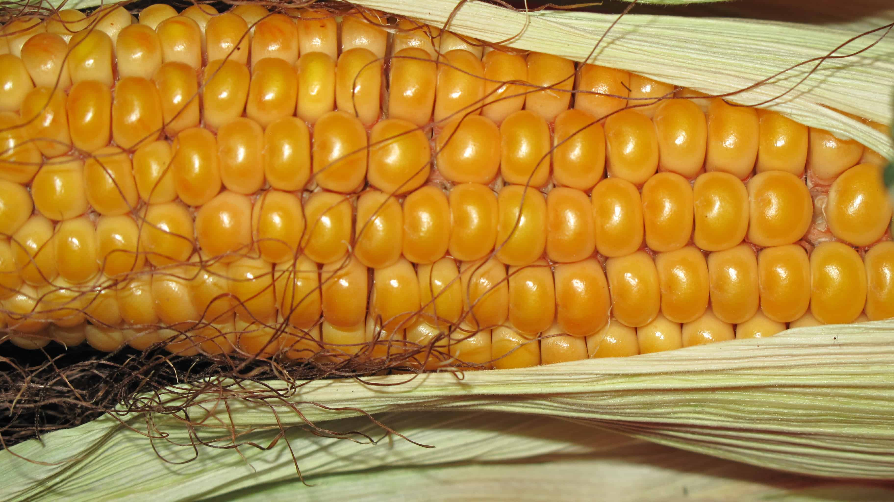 Drought tolerant African crops are key for food security